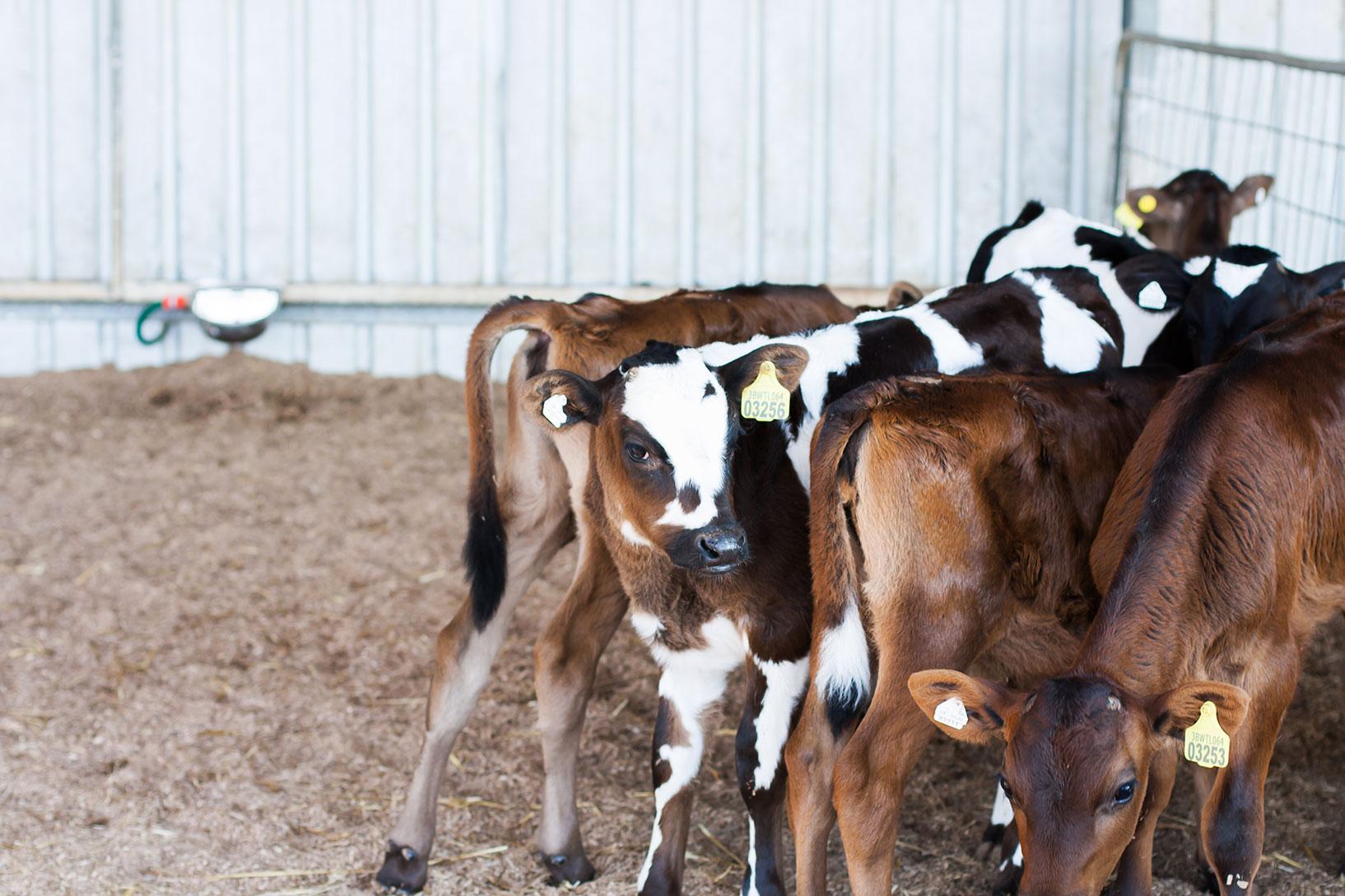 baby calves